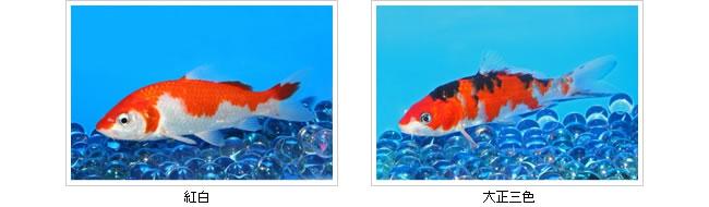錦鯉|紅白、大正三色